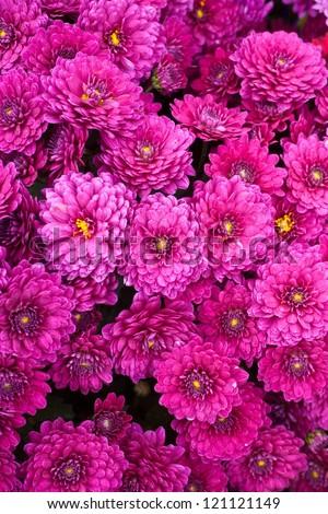 the beautiful of Chrysanthemum flowers - stock photo