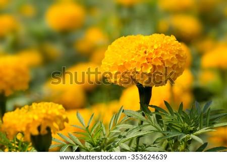 The beautiful orange marigold flower in tropical garden. - stock photo