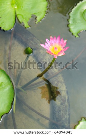 The Beautiful Pink Lotus in pond on sunny day - stock photo