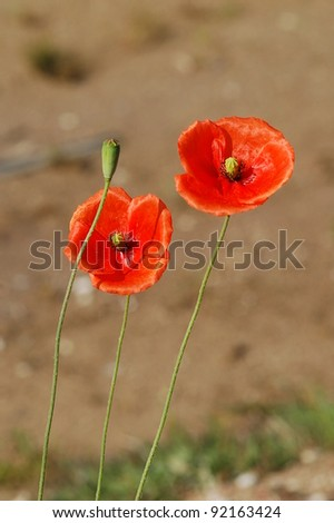 The beautiful red poppies blooming - stock photo