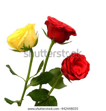 The beautiful red rose isolated on white