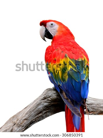 The Beautiful Scarlet Macaw (Ara macao) perching on the branch isolated on white background