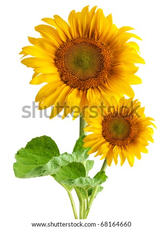 The beautiful sunflower isolated on a white background - stock photo