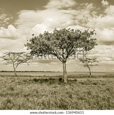 The beautiful trees in Serengeti National Park -Tanzania, East Africa (stylized retro) - stock photo