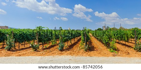 The beautiful vineyards in Mallorca. Spain. Panorama