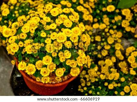 The Beautiful yellow daisy flowers on pot - stock photo