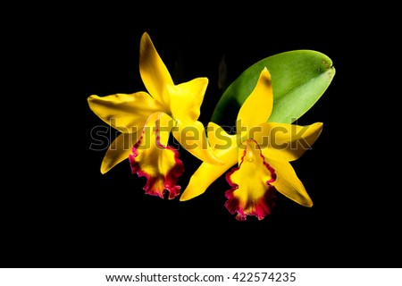 The beautiful yellow orchids stand out and isolate on black background. - stock photo