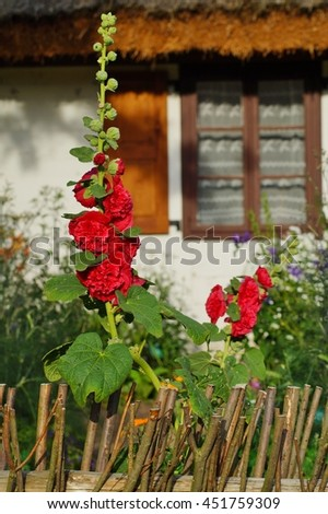 The beauty of decorative mallow flower in garden - Alcea resea - stock photo