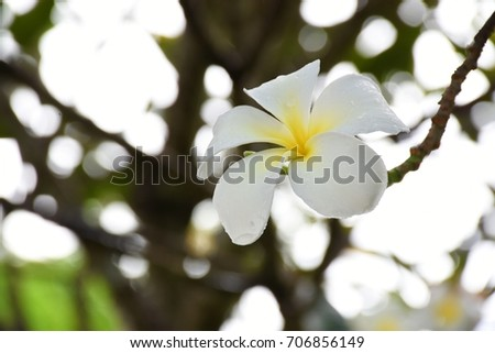 The beauty of plumeria flowers in the garden, Thailand