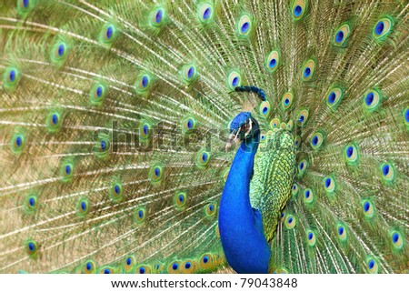The beauty of the peacocks at the spread tail-feathers