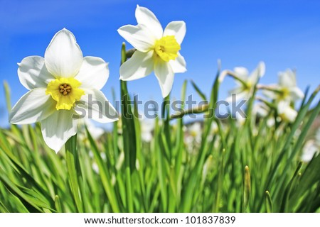 The bed of narcissus against blue sky. - stock photo