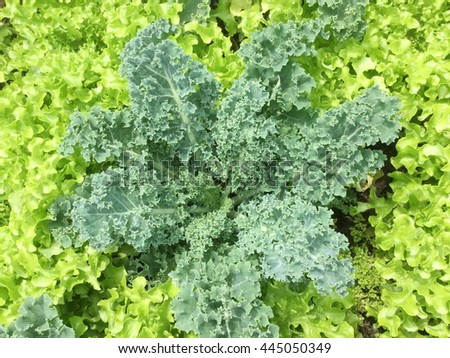 The beds of lettuce salad and kale in garden - stock photo