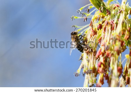 The bee collects nectar from flowering trees. Buds blossomed on a branch. Blooming tree in spring. - stock photo
