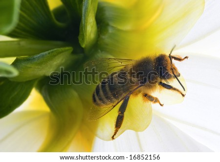 The bee is full of pollen from the flower.