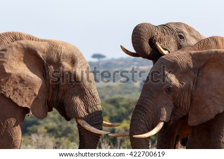 The beginning of a Elephant Fight -The African bush elephant is the larger of the two species of African elephant.  - stock photo