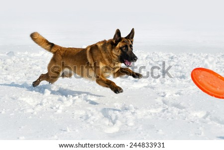 the Belgian shepherd plays with a disk on a snow field  - stock photo