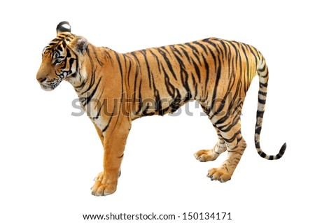 The Bengal tiger is the most numerous tiger subspecies. - stock photo