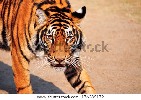 The bengal tiger is watching a scary sight. - stock photo