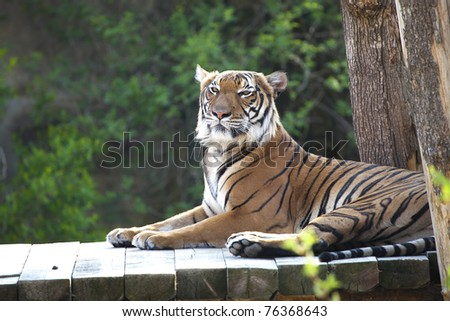 The Bengal tiger lying on the wooden bridge - stock photo