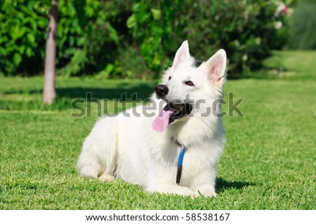 The Berger Blanc Suisse is a breed of dog from Switzerland. It is of the same origins as the White shepherd dog and the german shepherd dog. - stock photo