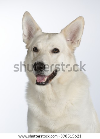 The Berger Blanc Suisse portrait. The dog breed is also known as the White Swiss Shepherd. Image taken in a studio.