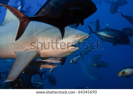 The big angry Bullshark from Pacific ocean shouted at 30 meters depth - stock photo