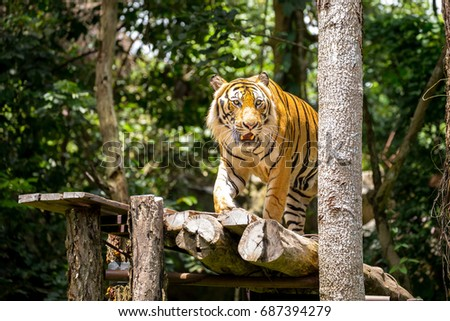 The big Bengal tiger get ready show,he can stand 2.50 meters for catch bait.
