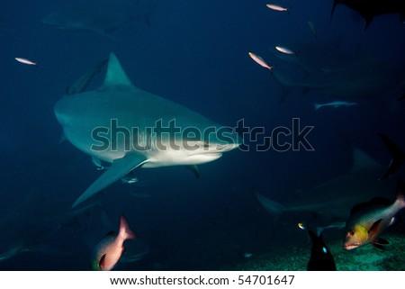The big bull-shark from Pacific ocean at 30 meters depth - stock photo