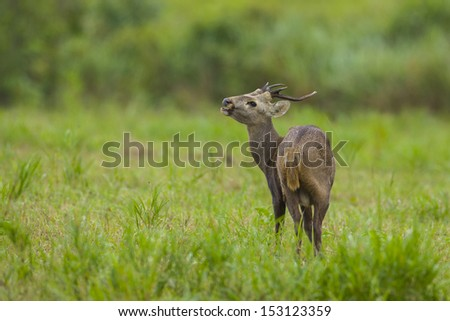 The big deer in the green field, thailand