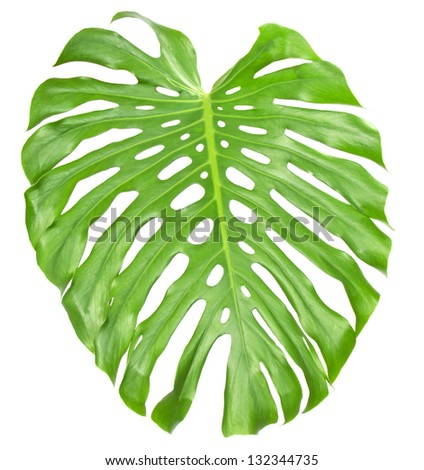 The big green sheet Monstera, isolated on white - stock photo