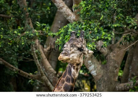 The big male giraffe walking in the zoo with trees background.