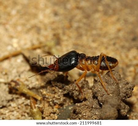 the big soldier termite of soil eaters - stock photo