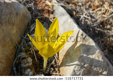 The Big Sternbergia lutea blooming at Israeli desert