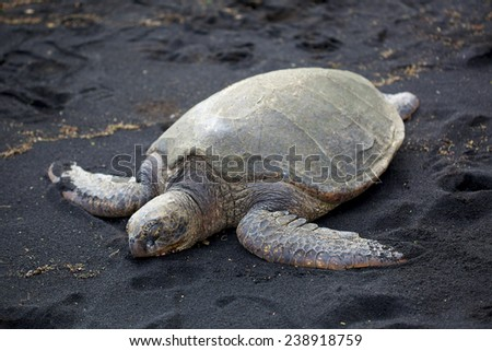 The big turtle resting on the black sand near ocean in Hawaii - stock photo