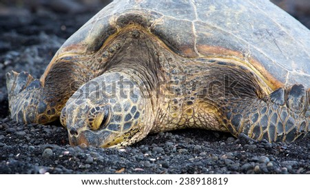 The big turtle resting on the black stone near ocean in Hawaii - stock photo