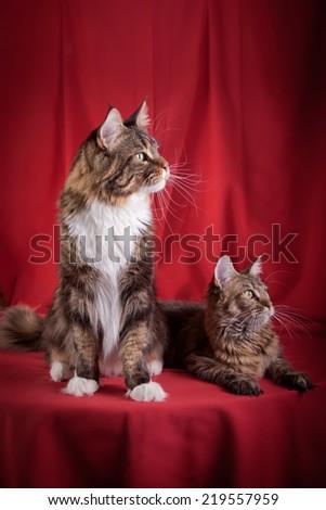 The biggest Maine Coon cat in studio - stock photo