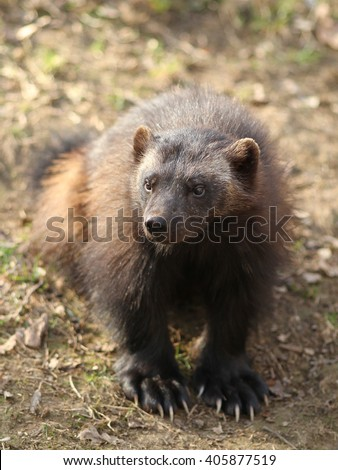 The biggest representative of Mustelidae, the wolverine, very powerful animal with strong jaws  - stock photo