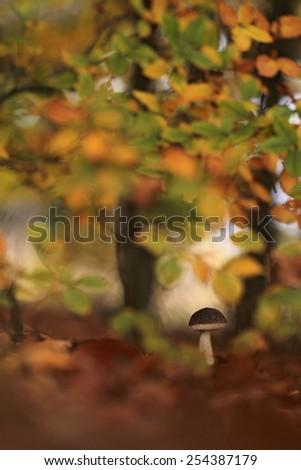 The Birch bolete (Leccinum scabrum) - edible mushroom. - stock photo