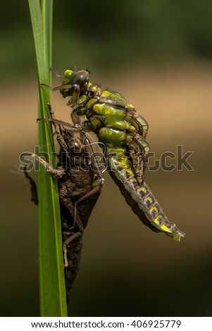 the birth of a dragonfly on a reed petal