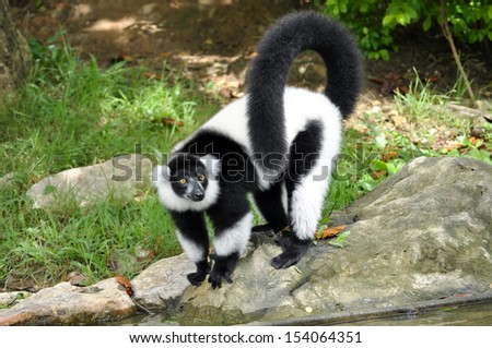 The black and white ruffed lemur is the more endangered of the two species of ruffed lemurs, both of which are endemic to the island of Madagascar. - stock photo