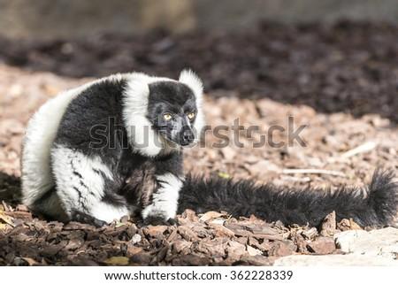 The black-and-white ruffed lemur (Vari, Varecia variegata). - stock photo