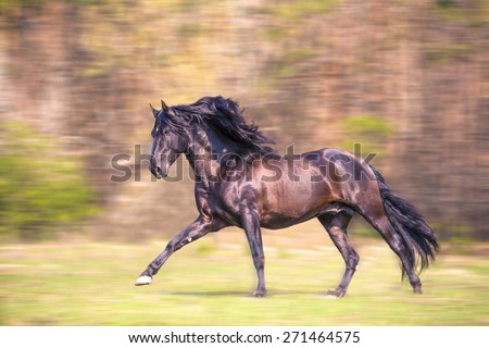 the black Andalusian horse is running - stock photo