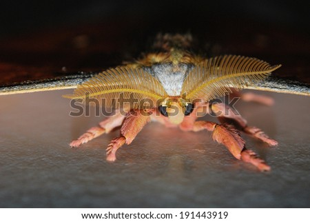 The Black big eyes moth on the wall - stock photo