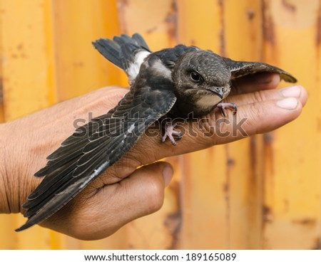 The black bird on the hand. - stock photo