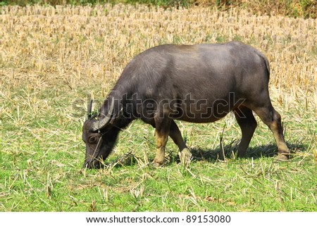 The Black buffalo,the local buffalo of Thailand
