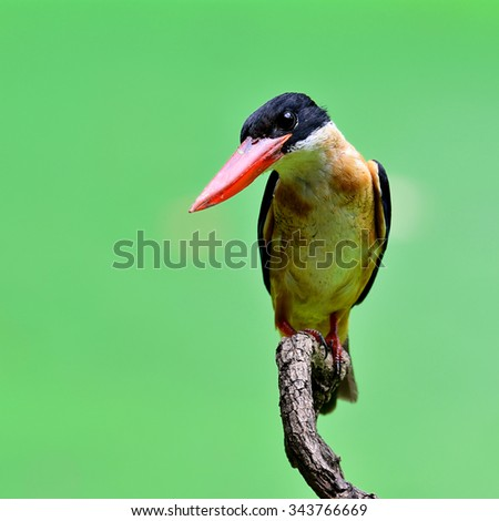 The black-capped kingfisher (Halcyon pileata) is a tree kingfisher which is widely distributed in tropical Asia from India east to China, Korea and Southeast Asia, beautiful blue bird