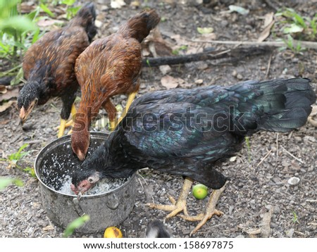 The black Chickens feed.