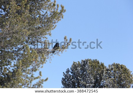 The black crow sitting on a branch of a cedar in the spring - stock photo