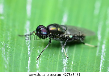 The Black Fruit Fly,interesting insect - stock photo