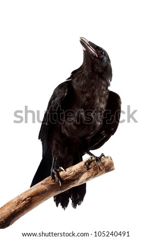The black gloomy bird sits on a branch on a white background - stock photo